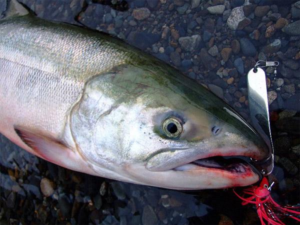 gurugurusfish